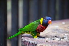 在囚禁的澳洲鹦鹉 库存照片
