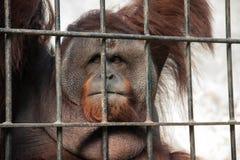 在囚禁的猩猩 库存照片