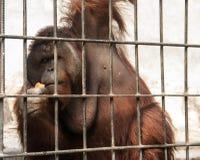 在囚禁的猩猩 免版税库存照片