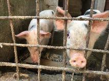 在囚禁的猪 库存图片