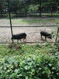 在囚禁的猪 图库摄影
