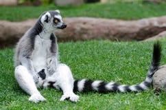 在囚禁的环纹尾的狐猴 库存照片