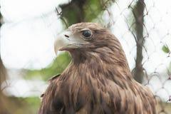 在囚禁的白被盯梢的老鹰在笼子 免版税图库摄影