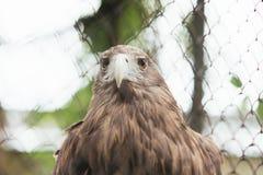 在囚禁的白被盯梢的老鹰在笼子 免版税库存照片