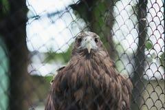 在囚禁的白被盯梢的老鹰在笼子 库存图片