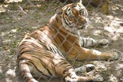 在囚禁的老虎 免版税库存图片