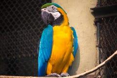 在囚禁的蓝色黄色金刚鹦鹉鸟在一个鸟类保护区在印度 免版税库存图片