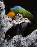 在囚禁的金刚鹦鹉鹦鹉-画象 免版税库存照片