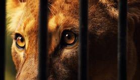 在囚禁的雌狮 免版税库存照片