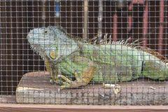 在囚禁的绿色鬣鳞蜥 免版税图库摄影