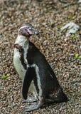 在囚禁的Humbolt企鹅 库存照片