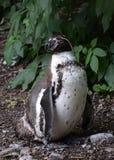在囚禁- lcose的Humbolt企鹅 库存图片