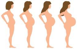 在四个阶段的怀孕发展 库存照片