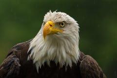 在四周寻找膳食的雨下的白头鹰 免版税图库摄影