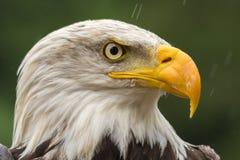 在四周寻找膳食的雨下的白头鹰 库存图片