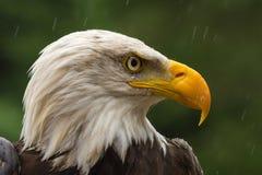 在四周寻找膳食的雨下的白头鹰 免版税库存图片