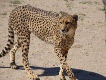 在四处寻觅的猎豹 免版税库存图片