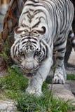 在四处寻觅的一只白色老虎 库存图片