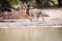 在四处寻觅的公狮子 免版税库存图片