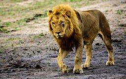 在四处寻觅的公狮子 库存图片