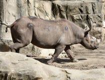 在四处寻觅的犀牛 免版税库存图片