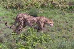 在四处寻觅的猎豹 免版税图库摄影