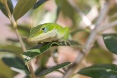 在四处寻觅的蜥蜴 免版税库存图片