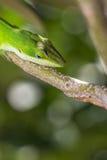 在四处寻觅的蜥蜴 免版税库存照片