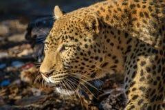 在四处寻觅的豹子在Erindi私有比赛储备,纳米比亚,非洲 免版税库存照片