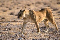 在四处寻觅的雌狮 免版税库存照片