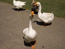 在四处寻觅的鹅,寻找快餐 免版税库存照片