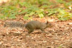 在四处寻觅2的灰鼠 图库摄影