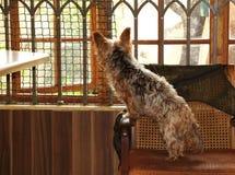 在困境的爱犬 免版税库存图片