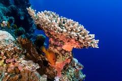 在困难珊瑚和热带珊瑚礁墙壁之下的石斑鱼 免版税库存照片