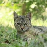 在围场的猫 库存图片