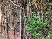 在围场金属化滤网和木篱芭有小门的长满与常春藤灌木,被环绕的树 图库摄影