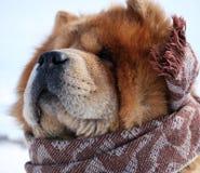 在围巾的狗 图库摄影