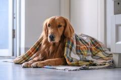 在围巾的金毛猎犬 免版税库存照片