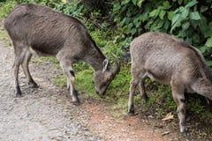 在国家储备的两Nilgiri高地山羊 图库摄影