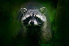 在国家公园曼纽尔安东尼奥,哥斯达黎加详述浣熊,浣熊属lotor画象,走在白色沙子海滩 野生动物 库存照片