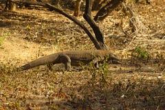 在国家公园的科莫多巨蜥最大的蜥蜴 印度尼西亚 免版税库存图片