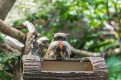 在国家公园胡闹和她的小婴孩,螃蟹吃短尾猿 免版税库存照片