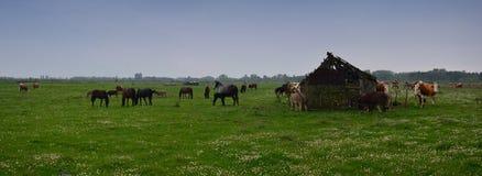 在国家公园Zasavica的母牛 免版税库存图片