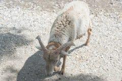 在国家徒步旅行队农场的大山羊 免版税库存照片