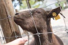 在国家徒步旅行队农场的大山羊 库存图片