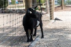 在国家徒步旅行队农场的大山羊 免版税库存图片