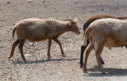 在国家徒步旅行队农场的大山羊 库存照片
