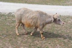 在国家徒步旅行队农场的大母牛 免版税图库摄影
