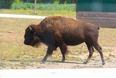 在国家徒步旅行队农场的大水牛 免版税库存照片