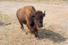 在国家徒步旅行队农场的大水牛 免版税库存图片
